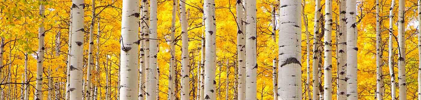 Golden Aspen Trees in Steamboat Springs, CO